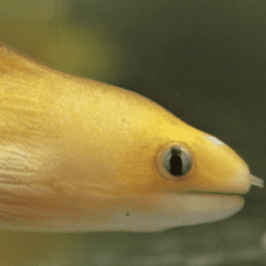 Dwarf Yellow Moray Eel