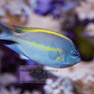 Bellus Angelfish Male