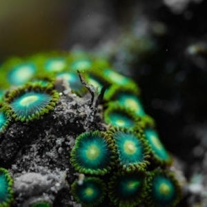 Green Bay Packers Zoanthid