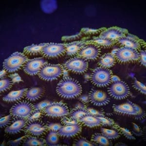 Scrambled Eggs Zoanthid