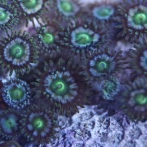 FM Sour Apple Zoa