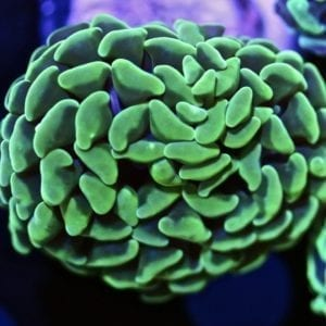 Lime Branching Hammer Coral