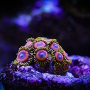 Fruit Loops Zoanthid