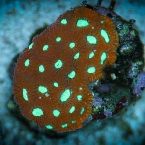 Red & Green War Coral