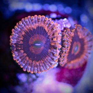 Eye Of Sauron Zoa (WYSIWYG)