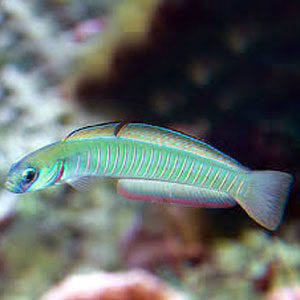bar goby